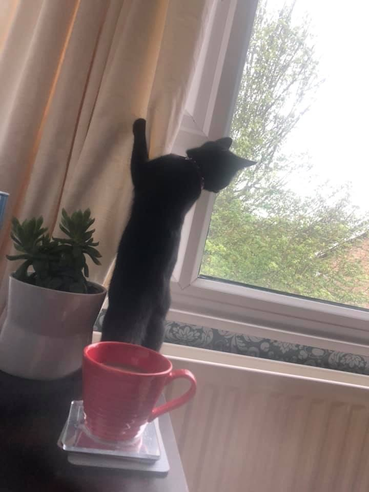 Why Do Cats Kittens Climb Curtains